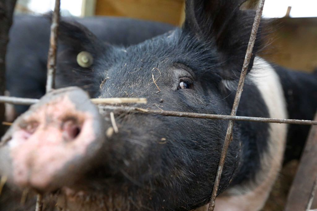 "Rowdy Girl Sanctuary resident ""Roxy"" pokes her snout out to vistors Tuesday, Jan. 26, 2016, in Angleton. The vegan farm sanctuary is run by Renee King-Sonnen, who recently bought a herd of cattle from her husband in an effort to rescue the cows from slaughter. Now, the sanctuary is home to 48 cows, 7 chicken, a turkey, 4 horses and 4 pigs, who get to stay on the 96-acre lot in a sort of spa-retirement setting. While some of the cows were rescued locally, including the many from her husband's herd, there are new additions coming in from as far away as Florida, as King-Sonnen works to disrupt the traditional farming system that she feels is cruel to animals. ( Steve Gonzales / Houston Chronicle )"