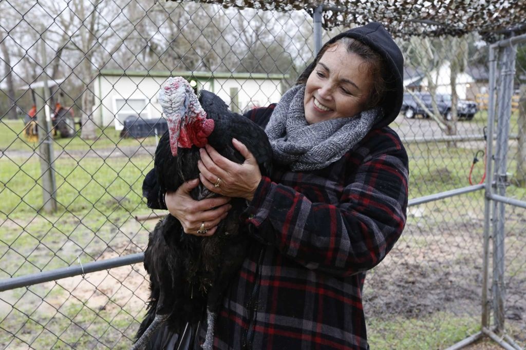 "Rowdy Girl Sanctuary resident ""Cooper"" allows Renee King-Sonnen to hold him Tuesday, Jan. 26, 2016, in Angleton. The vegan farm sanctuary is run by King-Sonnen, who recently bought a herd of cattle from her husband in an effort to rescue the cows from slaughter. Now, the sanctuary is home to 48 cows, 7 chicken, a turkey, 4 horses and 4 pigs, who get to stay on the 96-acre lot in a sort of spa-retirement setting. While some of the cows were rescued locally, including the many from her husband's herd, there are new additions coming in from as far away as Florida, as King-Sonnen works to disrupt the traditional farming system that she feels is cruel to animals. ( Steve Gonzales / Houston Chronicle )"