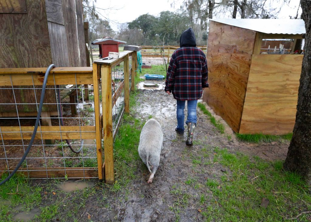 "Rowdy Girl Sanctuary founder Renee King-Sonnen walks with ""Ivy"" to her shelter, Tuesday, Jan. 26, 2016, in Angleton. The vegan farm sanctuary is run by King-Sonnen, who recently bought a herd of cattle from her husband in an effort to rescue the cows from slaughter. Now, the sanctuary is home to 48 cows, 7 chicken, a turkey, 4 horses and 4 pigs, who get to stay on the 96-acre lot in a sort of spa-retirement setting. While some of the cows were rescued locally, including the many from her husband's herd, there are new additions coming in from as far away as Florida, as King-Sonnen works to disrupt the traditional farming system that she feels is cruel to animals. ( Steve Gonzales / Houston Chronicle )"