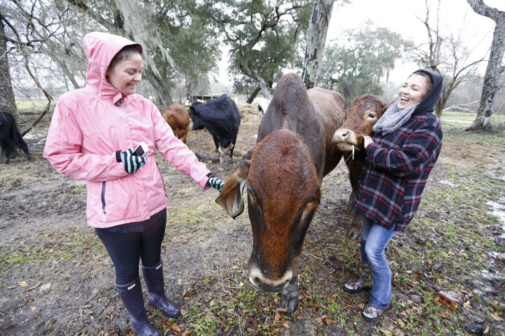 Houston Chronicle Reporter Maggie Gordon (left) and Rowdy Girl Sanctuary founder Renee King-Sonnen chat on the farm Tuesday, Jan. 26, 2016, in Angleton. The vegan farm sanctuary is run by Renee King-Sonnen, who recently bought a herd of cattle from her husband in an effort to rescue the cows from slaughter. Now, the sanctuary is home to 48 cows, 7 chicken, a turkey, 4 horses and 4 pigs, who get to stay on the 96-acre lot in a sort of spa-retirement setting. While some of the cows were rescued locally, including the many from her husband's herd, there are new additions coming in from as far away as Florida, as King-Sonnen works to disrupt the traditional farming system that she feels is cruel to animals. ( Steve Gonzales / Houston Chronicle )