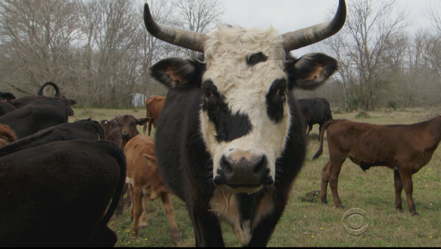 One of the cows at Rowdy Girl Vegan Farm Animal Sanctuary. Photo Credit: CBS News