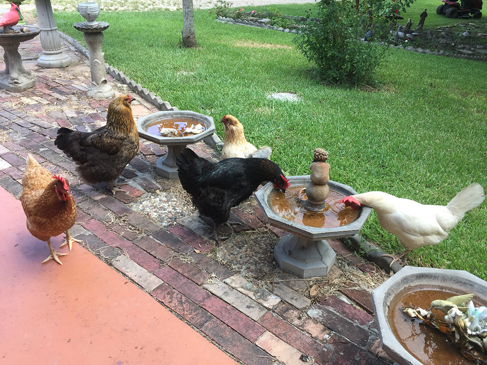 Chickens & Roosters - Rowdy Girl Sanctuary